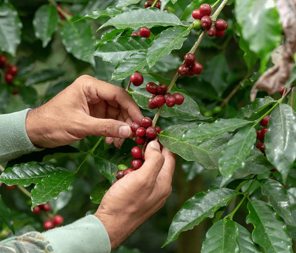 bigstock-Fresh-Arabica-Coffee-Beans-Rip-315660277